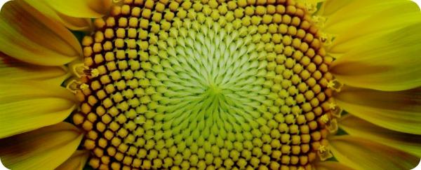 Золотая пропорция в мире растений