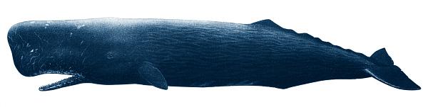 Как вымирают киты?