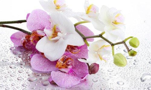 orhideja-1-e1454268569725